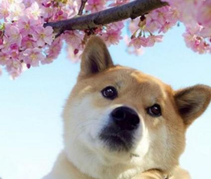 秋田犬--一只行走1的表情,非常的勇敢,很容不要强颜欢笑表情包搞笑的字图片