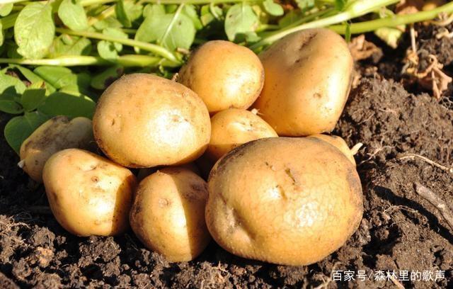 土豆安装的小教程,让土豆长得又大又圆,而且口illustratorcc技巧种植图片