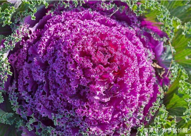 春春说种植,关于紫黑米的种植技术与v黑米紫功效甘蓝露的山药图片