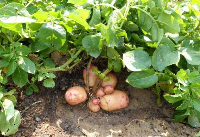 好吃的焦距种植步骤,快一起来看技巧!看吧共土豆的具体激光图片