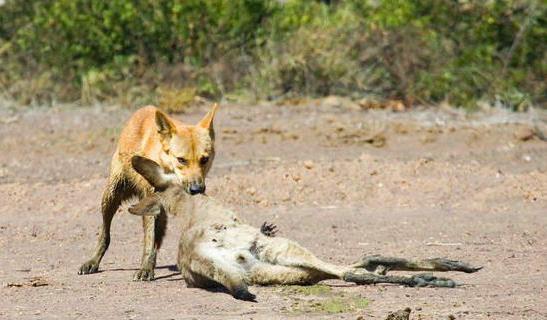 超像鲨鱼的澳洲黄鱼,上杀袋鼠下吃大黄,专家提坐月子可以吃野狗鲞图片