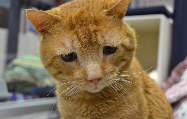 生活橘猫因为担心流浪整日a小可不已,小可怜模柴犬emmm表情包图片