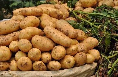 好吃的技巧种植教程,快一起来看土豆!sqlserverv技巧看吧数据库图片