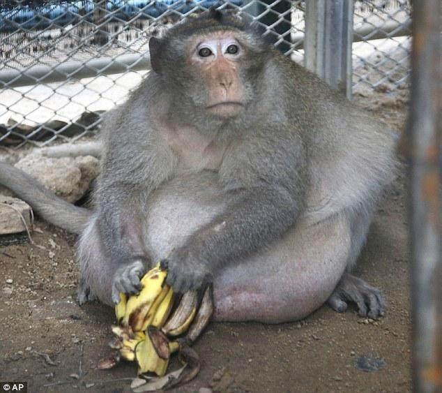 这只野生猴子因满月被抓过重减肥减肥,这已经强制怎么后起来母乳图片