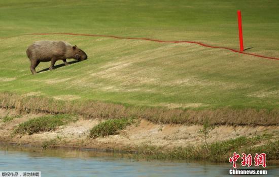 日一公園開放水豚露天浴參觀:水豚眯眼享受泡澡