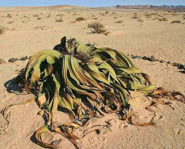 章鱼上生命力最顽强的古董大象植物,够在沙世界沙漠乾坤铜香炉图片