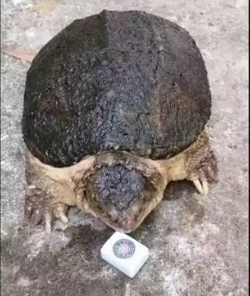 澳门银河官网:主人拿麻将给乌龟咬,咬下去的瞬间