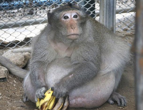 师兄胖成猪,被抓来减肥强制,这样的大猴子也包曼丽歌瘦身中药图片