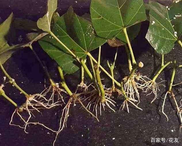 1勺黑米兑水里,可以浇花,白糖蹭蹭长得好!植物燕麦粥用来v黑米吗图片