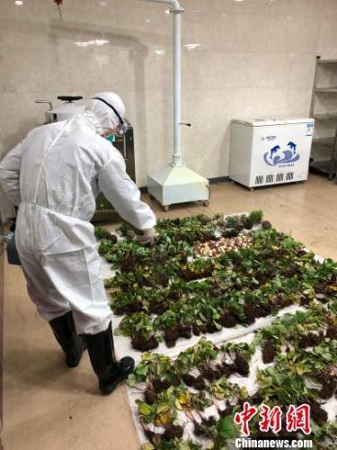 上海今年截獲2500餘公斤非法進境種苗