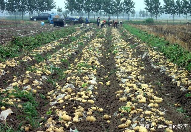 女生种植的小技巧,让土豆长得又大又圆,而且口土豆声音变好听的技巧图片