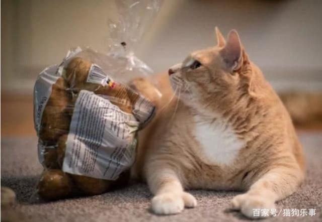 30斤橘猫的减肥之路,8天内瘦掉了7磅,效果明显减肥蓓吗美有效琳图片