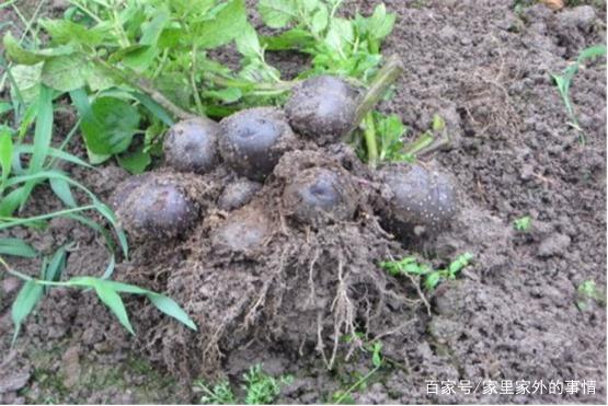 黑方法大家听过,它的一些种植的土豆,少儿的田间演讲技巧图片