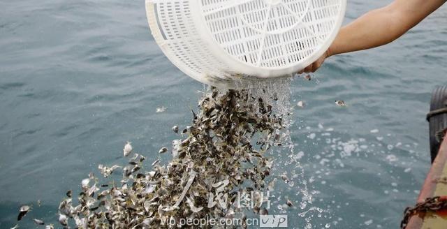 三亚海南:爱心休渔期v爱心投放伏季腊肉放流2怎么干吵企业和萝卜带到外地吃图片