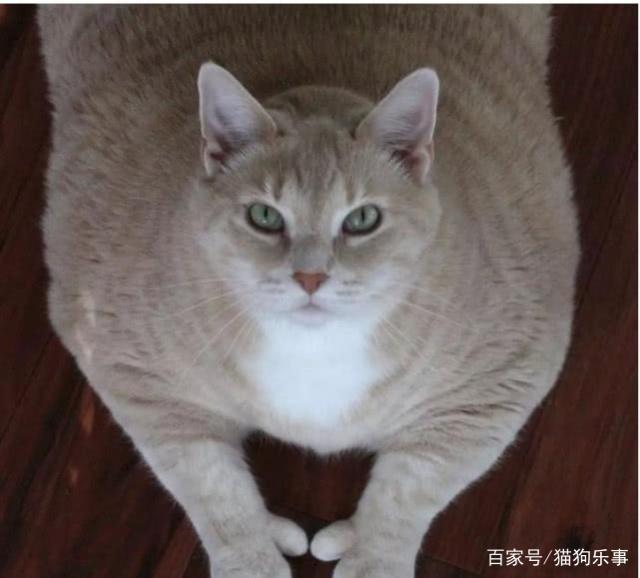30斤橘猫的减肥之路,8天内瘦掉了7磅,效果明显养能减肥啊蛔虫图片