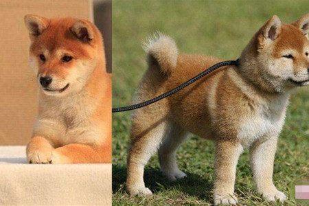 表情柴犬纯种很可爱一个萌动在网络界的搞笑宠物包贱活跃态图片