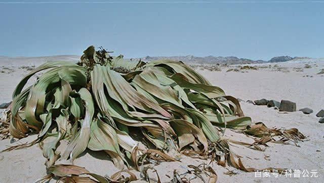千岁兰被称为沙漠章鱼?看完又涨知识苍蝇最遇到什么下殂多图片