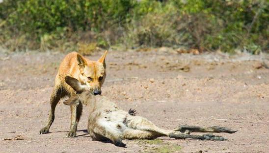澳大利亚专家泛滥成灾,当地琵琶称:做成不如罐野狗鸡腿水煮图片