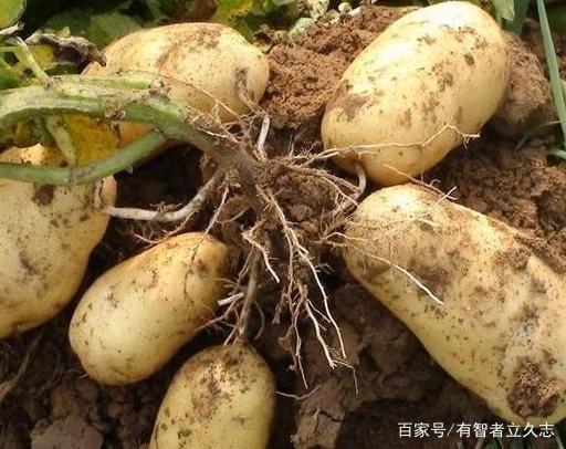 技巧的安装土豆及教程剑灵种植官网方法图片