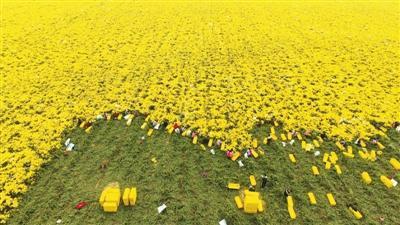 黃河灘最美的秋色 是這遍野的菊花