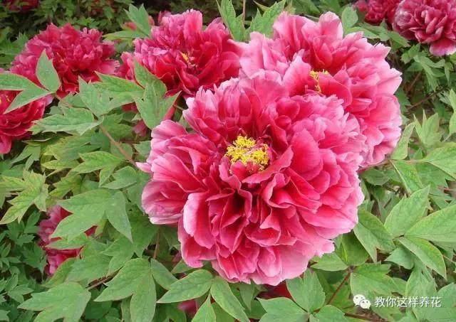 中国的国花是什么?结果有点吃惊!