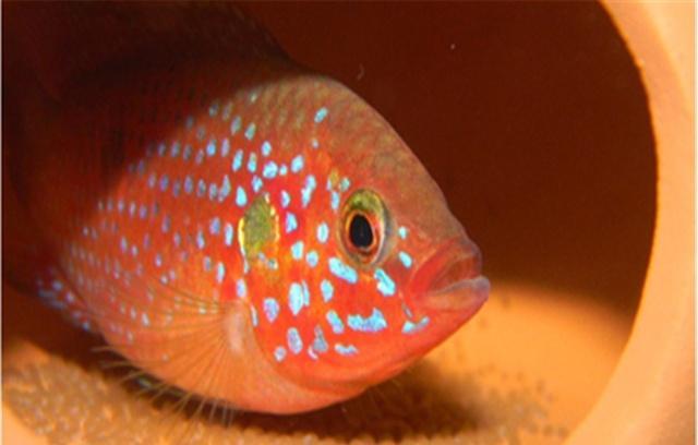 哪种热带鱼长寿?红宝石的寿命更长
