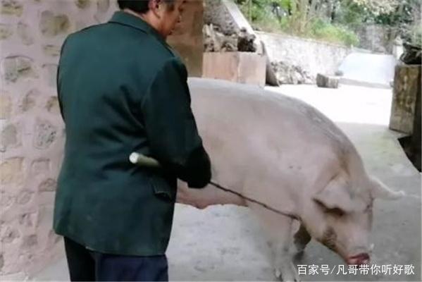 肥猪赛大象:长2米重1100斤,猪王现身四川内