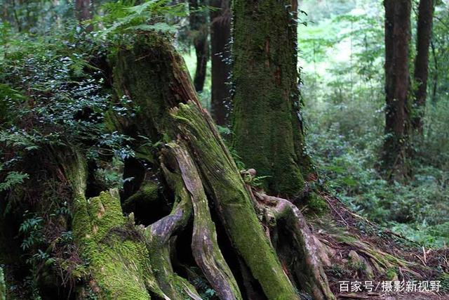 台湾阿里山上很多老树根会说话,天天张着大口