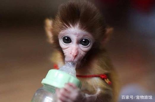 现在好多人养袖珍宠物猴子,你知道养它违法吗