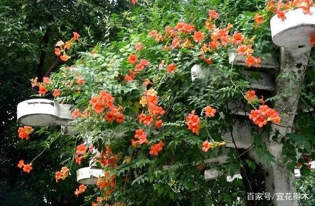 适合阳台院落的几种美丽藤本植物推荐