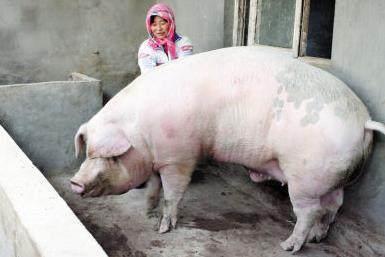肥猪赛大象?你家的猪根本排不上号,浙江猪王重
