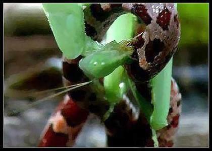 奇闻异事:螳螂捕蛇